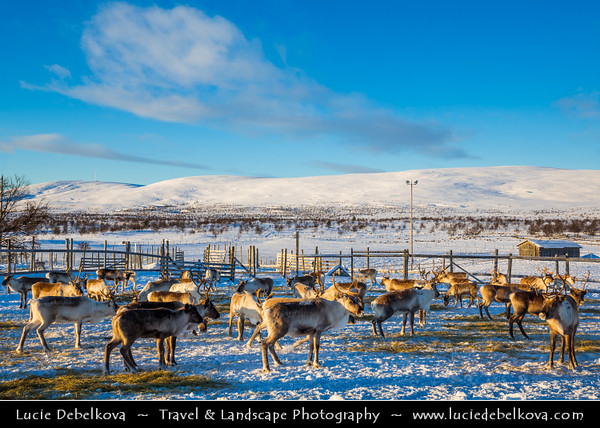 Europe - Finland - Lapland - Lappi - The largest & northernmost region of Finland - North of the Arctic Circle - Lapland Reindeer in Finnish Nature under fresh cover of snow during winter time