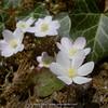 Hepatica nobilis f. alba