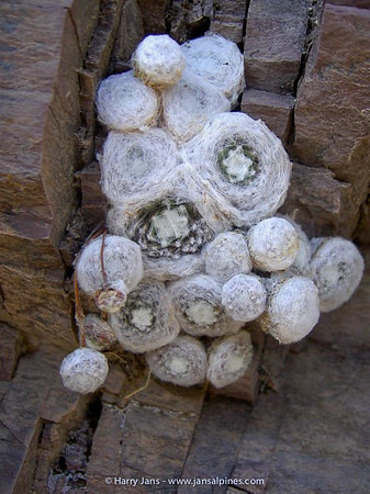 Sempervivum arachnoideum (very fine form!)