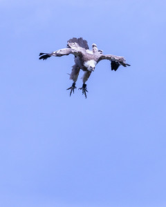 White-backed Vulture Descending