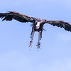 White-backed Vulture Descending
