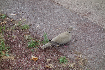 Eurasian Collared Dove, Nice