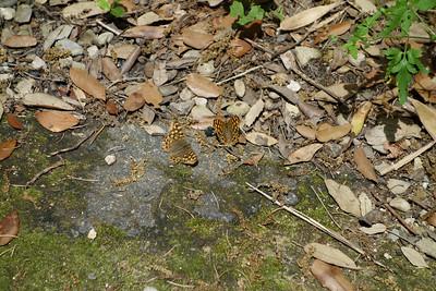 Speckled Wood Butterflies in the Botanical Garden, Montpellier