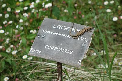 Lizard in the Botanical Garden, Montpellier