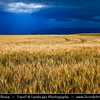Europe - France - Provence-Alpes-Côte d'Azur Region - Valensole - Field of grain under stormy weather