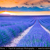 Europe - France - Provence-Alpes-Côte d'Azur Region - Valensole - Magnificent plateau situated at an altitude of 500 metres famous for its fields of lavender full of pure scent and lovely violet blooms