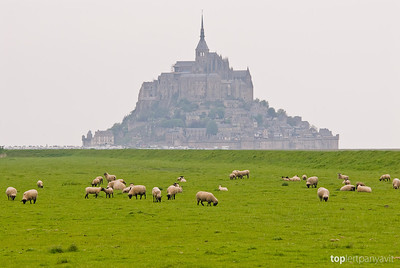 Sheep graze on the salty grass plains in front of the island of Mont Saint-Michel