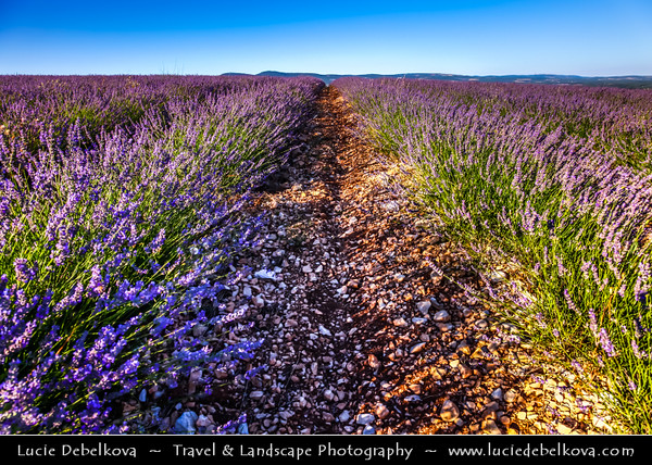 Europe - France - Provence-Alpes-Côte d'Azur Region - Vaucluse - Sault area - Historical village surrounding famous for its fields of lavender, full of pure scent and lovely violet blooms
