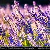 Europe - France - Provence-Alpes-Côte d'Azur Region - Vaucluse - Sault area - Historical village surrounding famous for its fields of lavender, full of pure scent and lovely violet blooms - Bee collecting flower nectar