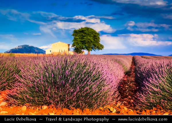 Europe - France - Provence-Alpes-Côte d'Azur Region - Valensole - Magnificent plateau situated at an altitude of 500 metres famous for its fields of lavender full of pure scent and lovely violet blooms - Lonely tree & house