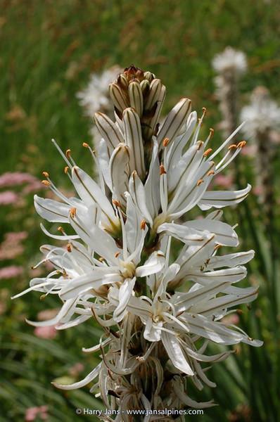 Asphodelus albus