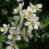 Anemone narcissiflora