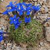 Gentiana orbicularis