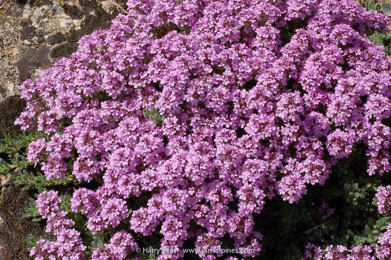 Thymus doerfleri (Albania)