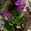 Primula latifolia