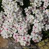 Androsace lehmanniana