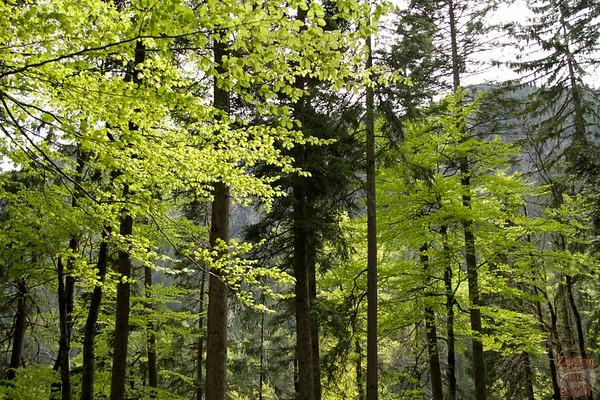 Trees around Eibsee Germany