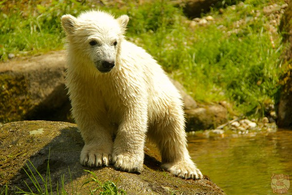 Polar bear babies, Hellabrunn zoo Munich, photo 6