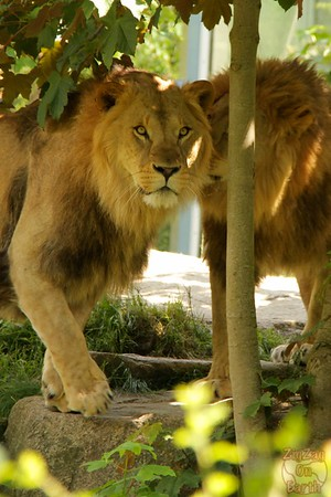 Lion, Hellabrunn zoo Munich, photo 3
