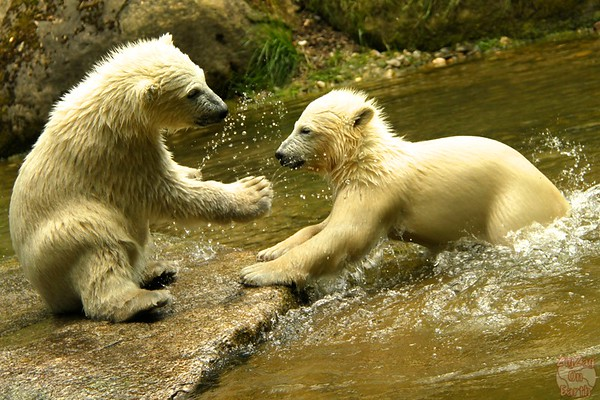 Polar bear babies, Hellabrunn zoo Munich, photo 5