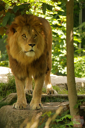 Lion, Hellabrunn zoo Munich, photo 2