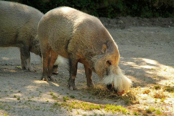 Pig, Hellabrunn zoo Munich, photo 1