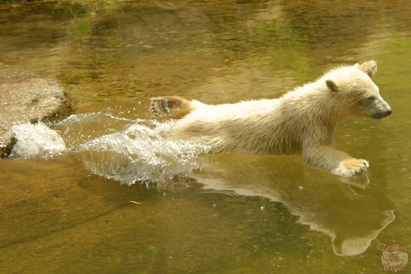 Polar bear babies, Hellabrunn zoo Munich, photo 7