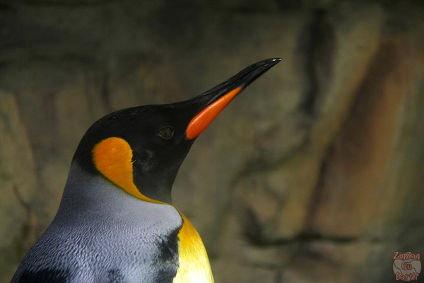 King penguin, Hellabrunn zoo Munich, photo 1