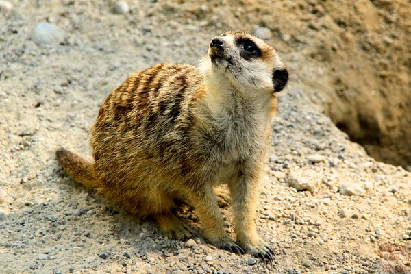 Meerkat, Hellabrunn zoo Munich, photo 1