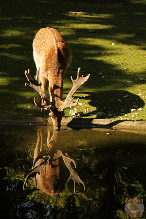 Deer, Hellabrunn zoo Munich, photo 1