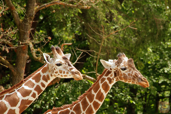 Giraffe, Hellabrunn zoo Munich, photo 3