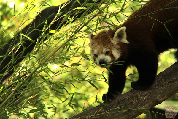 Red panda, Hellabrunn zoo Munich, photo 1