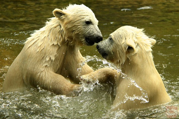 Polar bear babies, Hellabrunn zoo Munich, photo 1