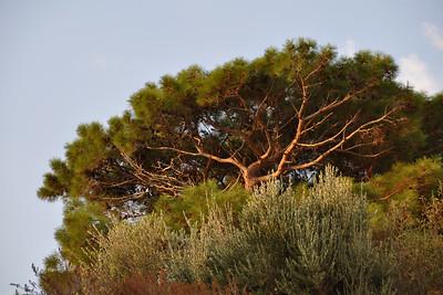 Molyvos - Pine Tree
