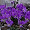 Viola perinensis