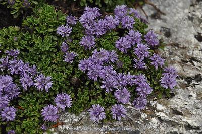 Globularia cordifolia (= meridionalis)