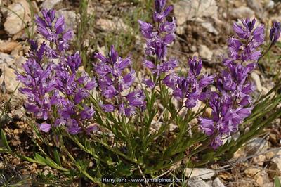 Polygala nicaeensis ssp. mediterranea