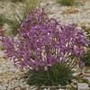 Matthiola fruticulosa ssp. valesiaca