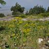 Smyrnium perfoliatum ssp. rotundifolium