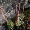 Saxifraga federici-augusti ssp. grisebachii