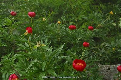 Paeonia peregrina