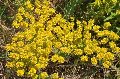 Euphorbia ?
