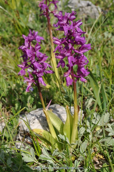 Orchis mascula ssp.  ovalis
