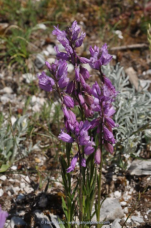 Polygala major
