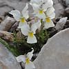 Viola perinensis (white form)
