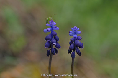 Muscari cf. neglectum