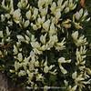 Astragalus aungustifolius