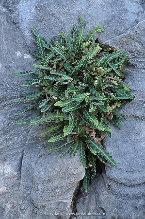 Asplenium ceterach (syn.  Ceterach officinarum)