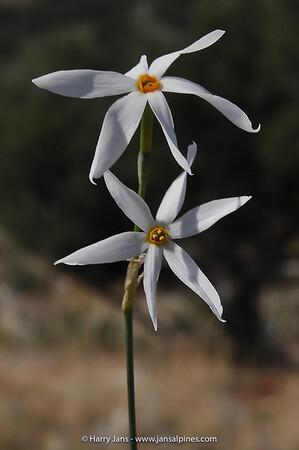 Narcissus serotinus