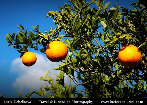 Greece - Peloponnese Peninsula - Orange Trees